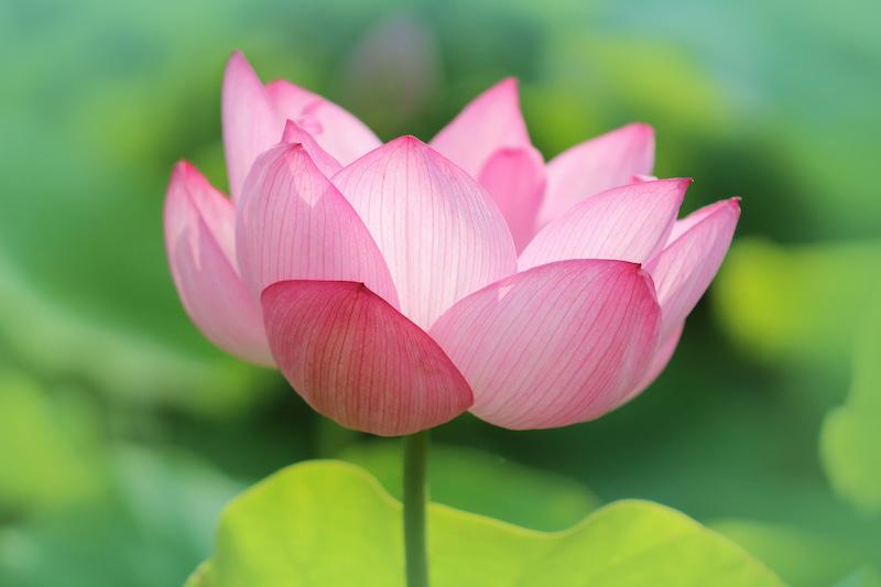 イメージ画像(蓮の花)